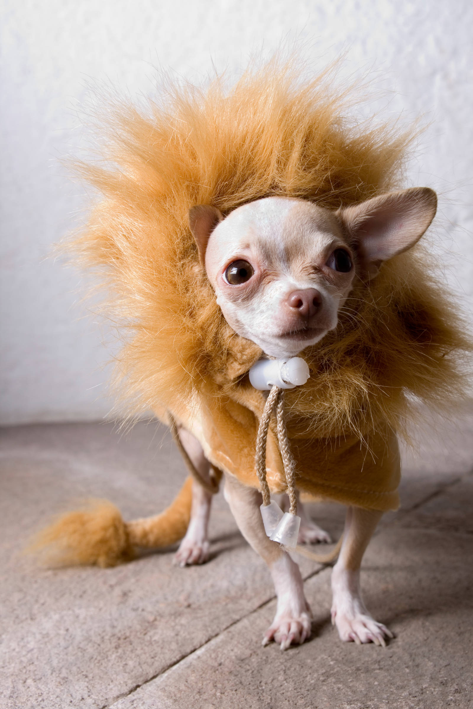 Chihuahua Halloween For Puppies and Dogs