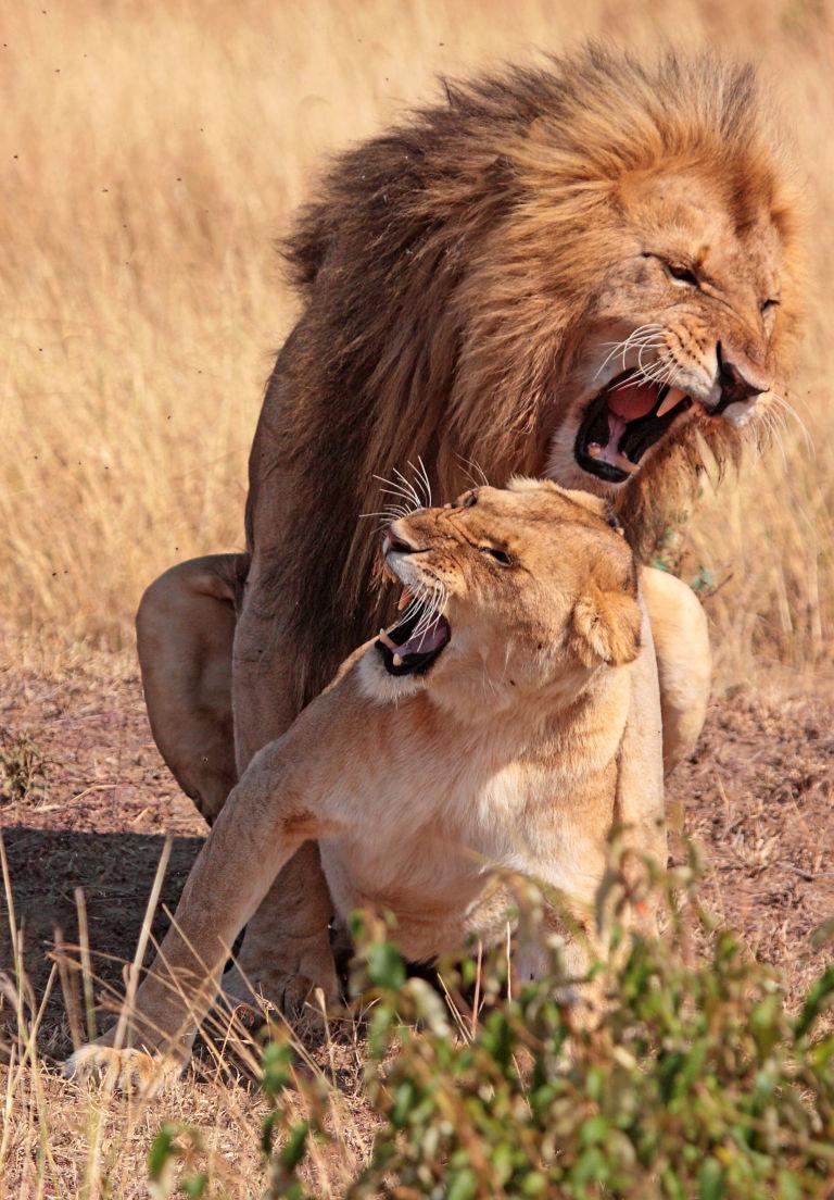 Львы делают секс считаю